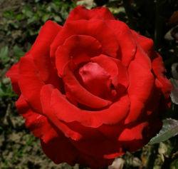2284-rosa-kardinal[1]