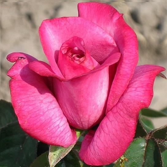 roza_blu_bos_1