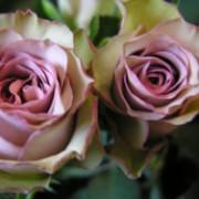 amnesia-rose