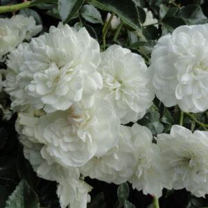 p4v-svani-(2)