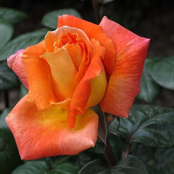 roza-lui-de-fyunes367