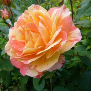 roza-marvelle