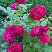 roza-parkovaya-fioletovaya-astrid-grefin-fon-hardenberg