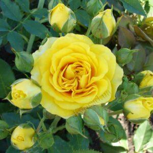 rozy-miniatyurnye-sanset-11005899