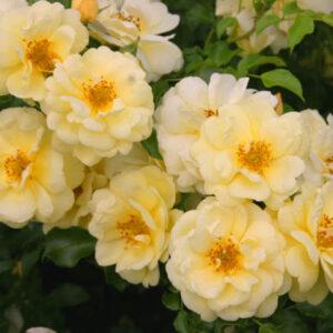sunny-rose01