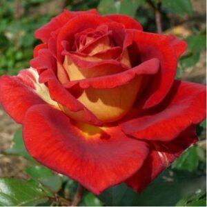 kleopatra-rose-3-458x458