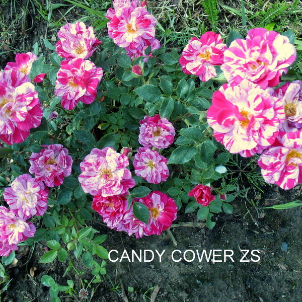 CANDY COWER