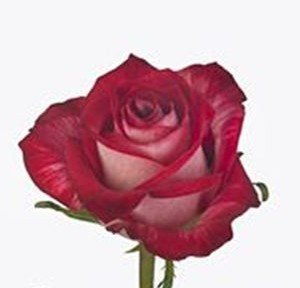 rose-all-star-red-wholesale